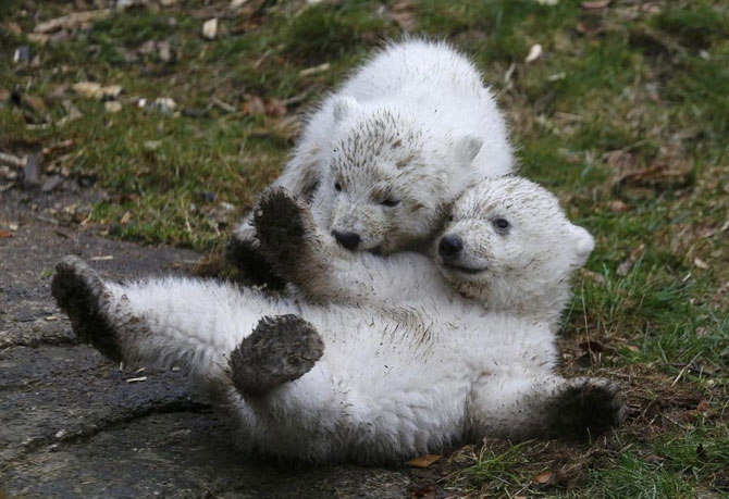Doi ursuleti polari gemeni se bucura de viata - Poza 1