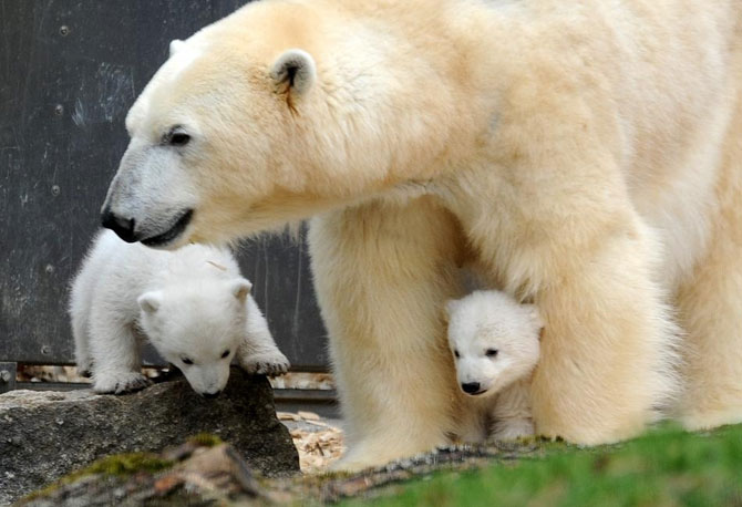 Doi ursuleti polari gemeni se bucura de viata - Poza 2
