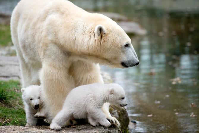 Doi ursuleti polari gemeni se bucura de viata - Poza 3