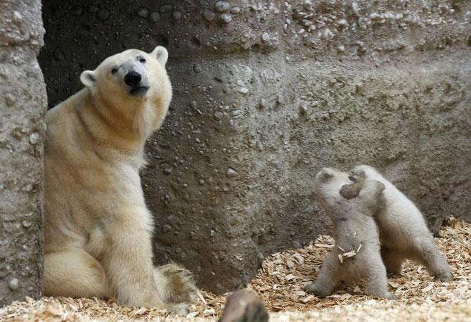 Doi ursuleti polari gemeni se bucura de viata - Poza 4