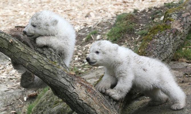 Doi ursuleti polari gemeni se bucura de viata - Poza 5