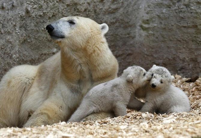 Doi ursuleti polari gemeni se bucura de viata - Poza 6