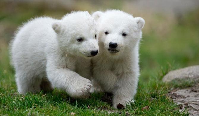 Doi ursuleti polari gemeni se bucura de viata - Poza 7