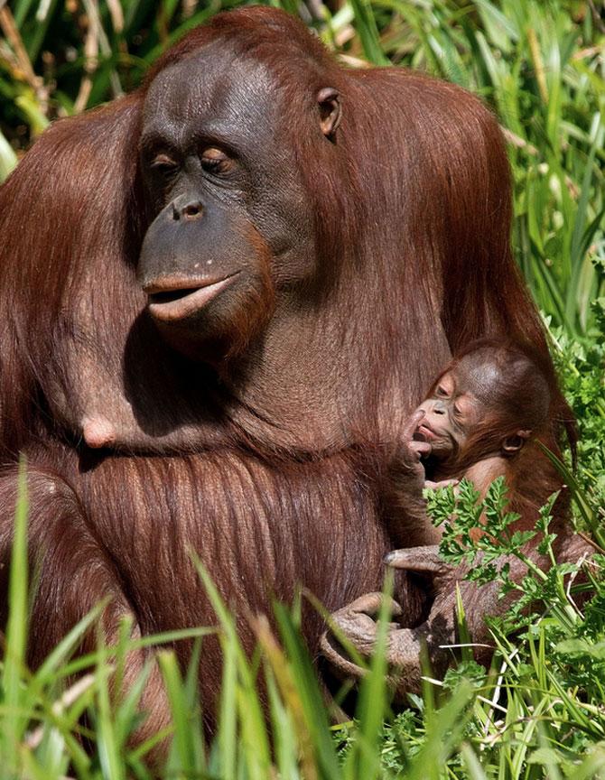Mama si puiul urangutan, extrem de umani - Poza 2