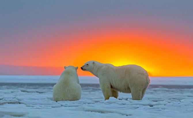Ursi polari la apus, cu Sylvain Corder - Poza 2