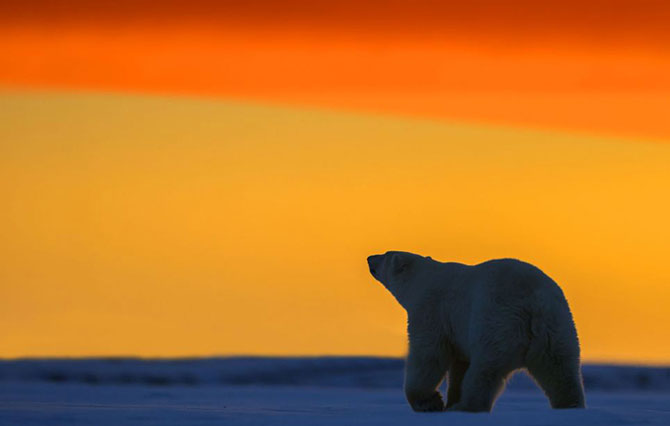 Ursi polari la apus, cu Sylvain Corder - Poza 3