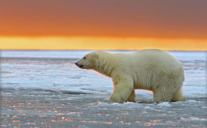 Ursi polari la apus, cu Sylvain Corder - Poza 5