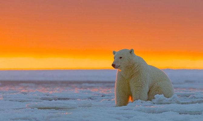 Ursi polari la apus, cu Sylvain Corder - Poza 6