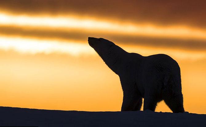 Ursi polari la apus, cu Sylvain Corder - Poza 7