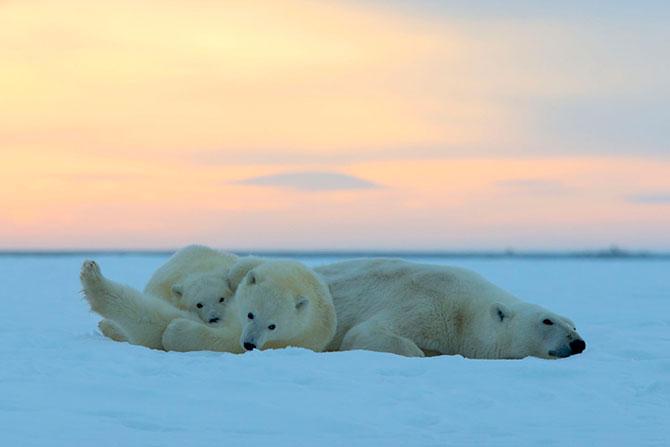 Ursi polari la apus, cu Sylvain Corder - Poza 9