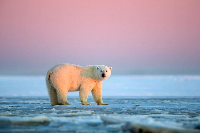 Ursi polari la apus, cu Sylvain Corder - Poza 10