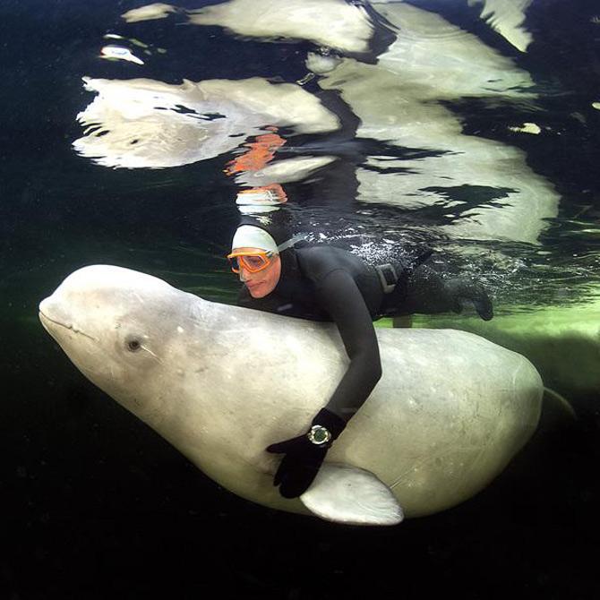 La joaca cu balenele albe de la Cercul Polar