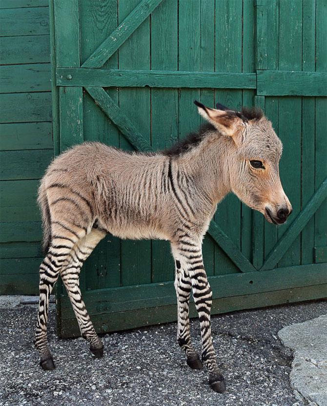 Ippo, magarusul-zebra din Italia - Poza 1