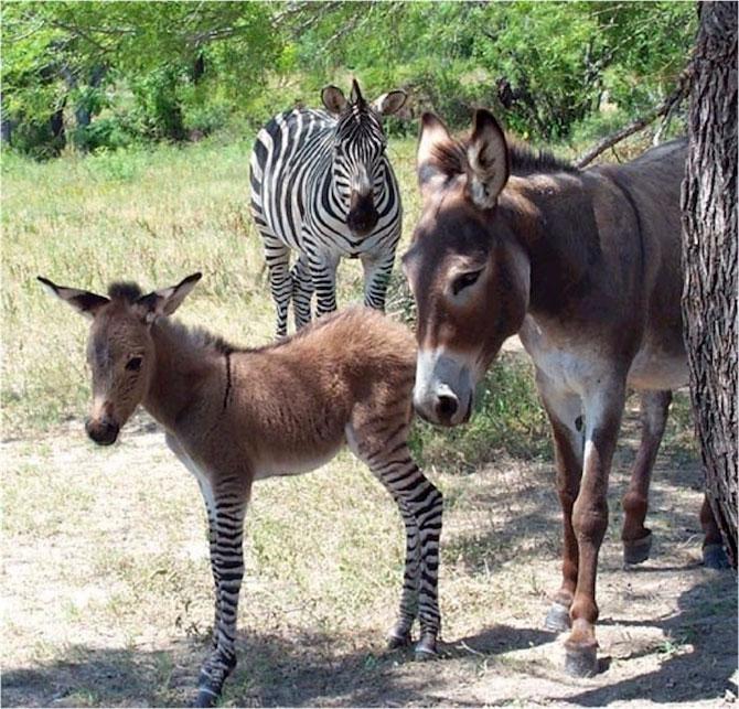 Ippo, magarusul-zebra din Italia - Poza 2