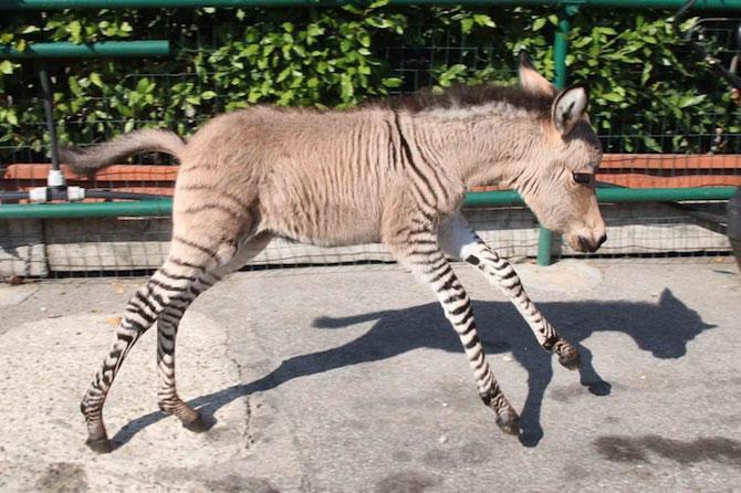 Ippo, magarusul-zebra din Italia - Poza 3