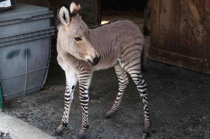 Ippo, magarusul-zebra din Italia - Poza 4