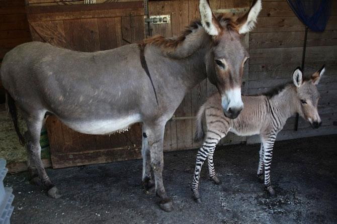 Ippo, magarusul-zebra din Italia - Poza 5