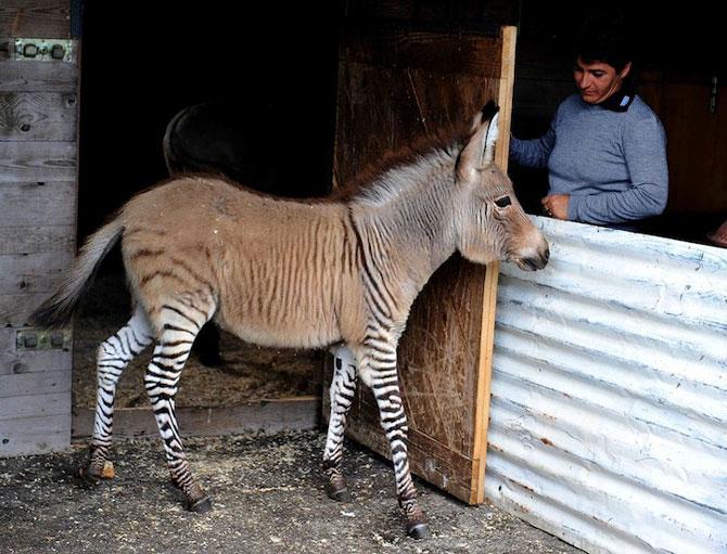 Ippo, magarusul-zebra din Italia - Poza 6