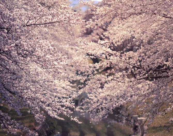 25 de flori din Japonia - Poza 1
