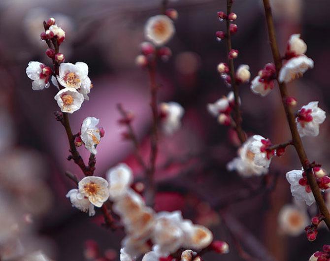 25 de flori din Japonia - Poza 10
