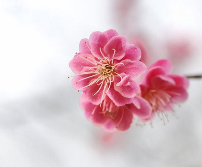 25 de flori din Japonia - Poza 25