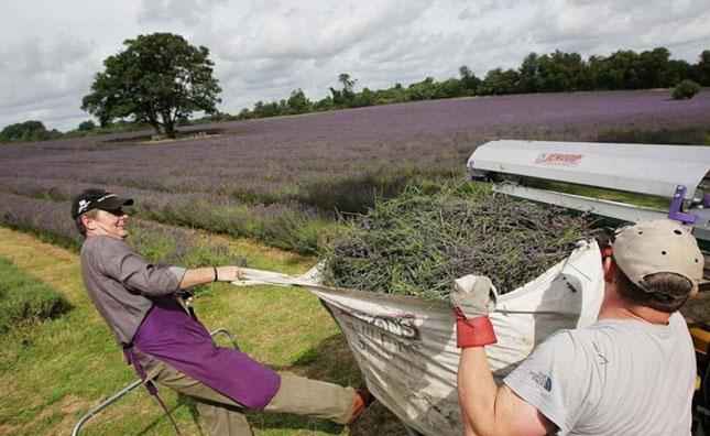 Culturile de levantica din Anglia - Poza 4