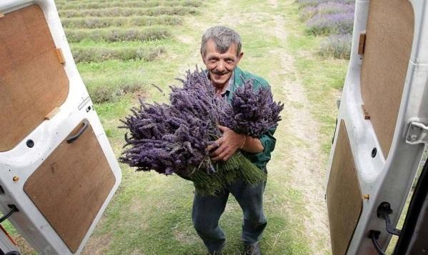 Culturile de levantica din Anglia - Poza 7
