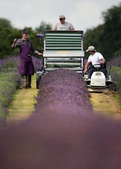 Culturile de levantica din Anglia - Poza 8