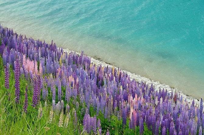 Lupin inflorit la Lacul Tekapo, Noua Zeelanda - Poza 3