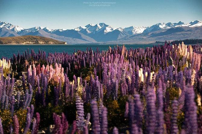 Lupin inflorit la Lacul Tekapo, Noua Zeelanda - Poza 4