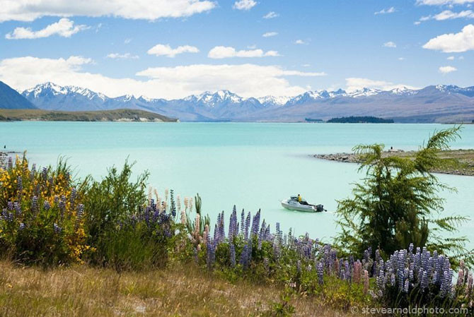 Lupin inflorit la Lacul Tekapo, Noua Zeelanda - Poza 7
