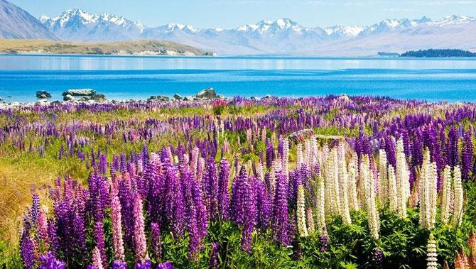 Lupin inflorit la Lacul Tekapo, Noua Zeelanda - Poza 8