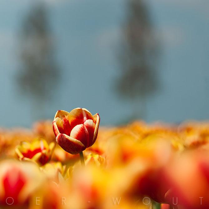 Florile culese de olandezul Oer-Wout - Poza 2