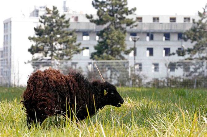 Oile care tund iarba la Paris - Poza 3
