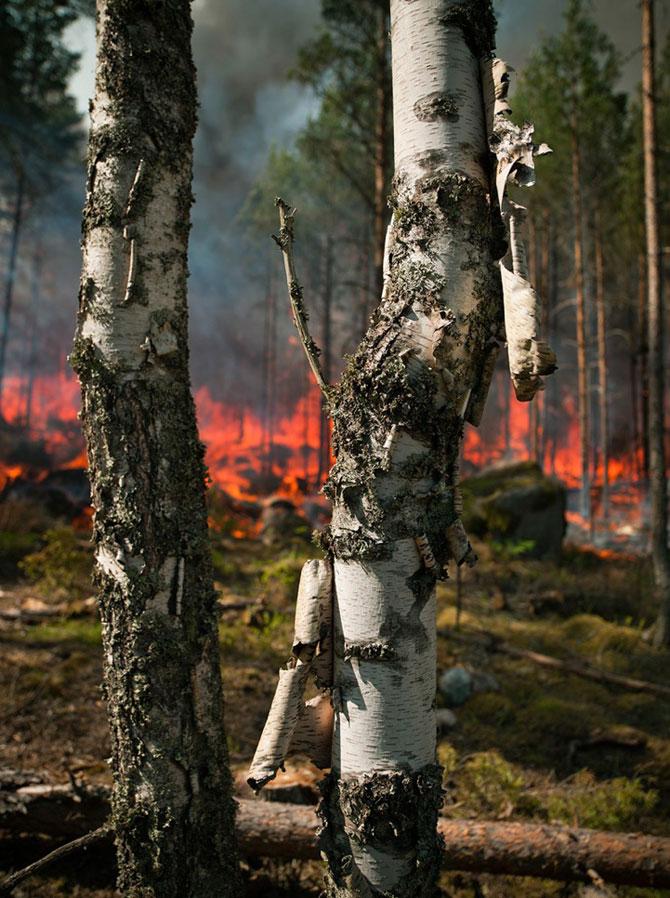 Mats Petersson da foc padurilor - Poza 4