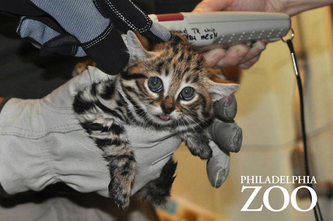 Adorabilii pisoi cu labe negre, nascuti la Zoo Philadelphia - Poza 3