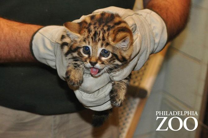 Adorabilii pisoi cu labe negre, nascuti la Zoo Philadelphia - Poza 4