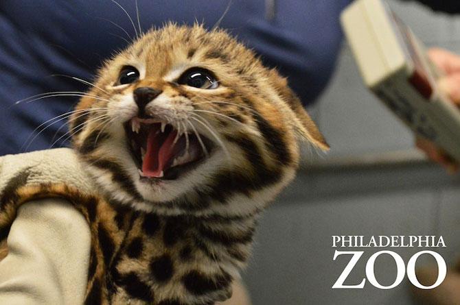 Adorabilii pisoi cu labe negre, nascuti la Zoo Philadelphia - Poza 6