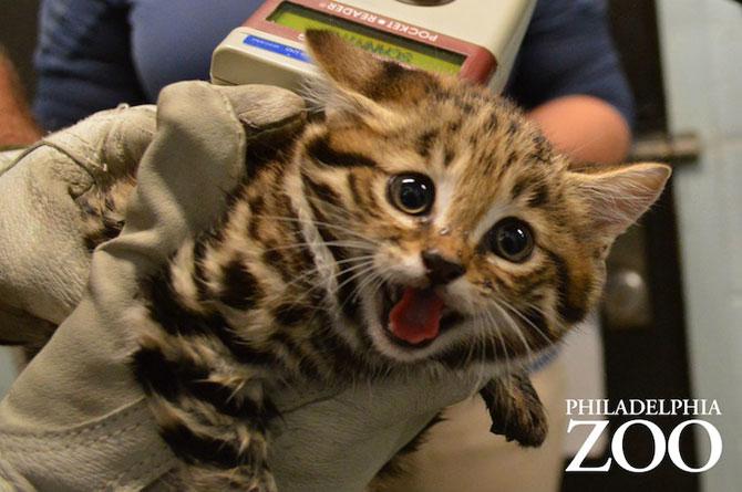 Adorabilii pisoi cu labe negre, nascuti la Zoo Philadelphia - Poza 7