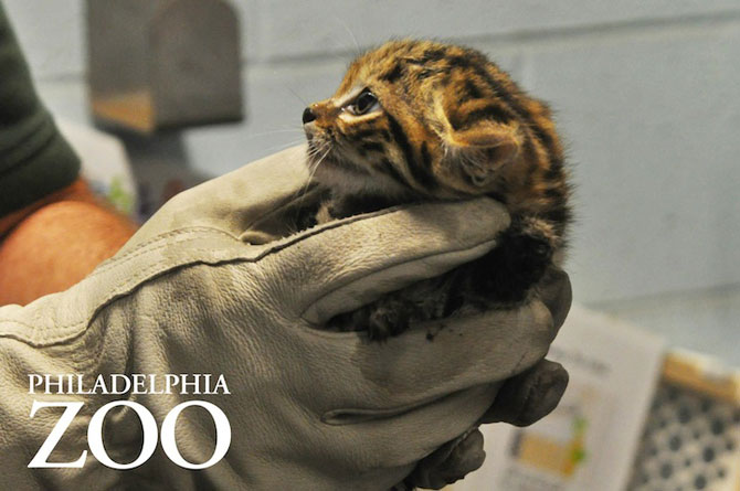 Adorabilii pisoi cu labe negre, nascuti la Zoo Philadelphia - Poza 8