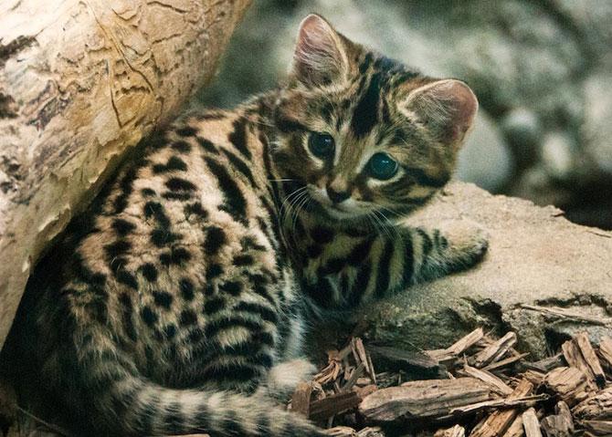 Adorabilii pisoi cu labe negre, nascuti la Zoo Philadelphia - Poza 10