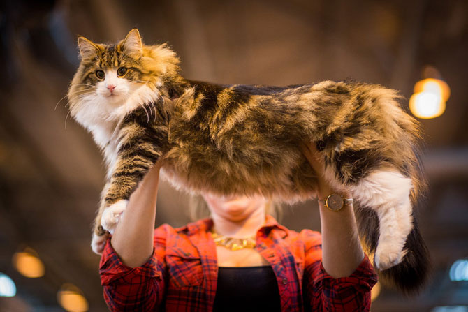 Cele mai frumoase pisici ale anului 2014 - Poza 1