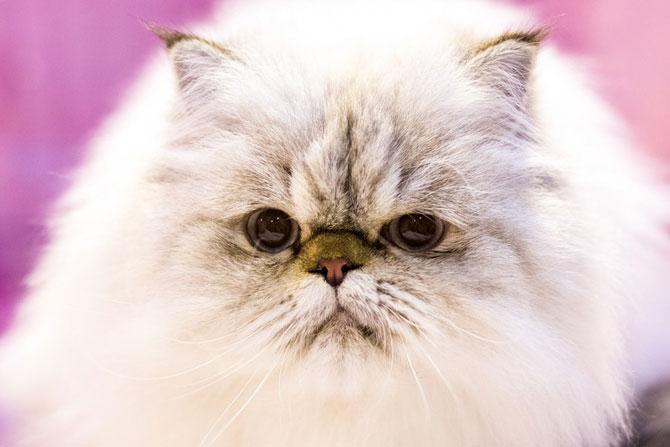Cele mai frumoase pisici ale anului 2014 - Poza 2