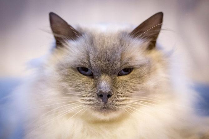 Cele mai frumoase pisici ale anului 2014 - Poza 7