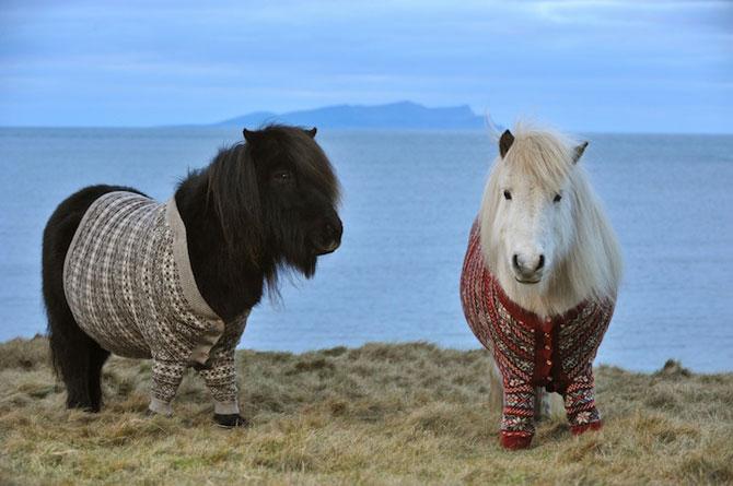 Poneii-ambasadori ai Scotiei - Poza 4