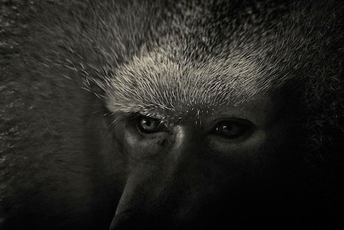 Portrete misterioase in alb-negru, cu animalele de la zoo - Poza 2