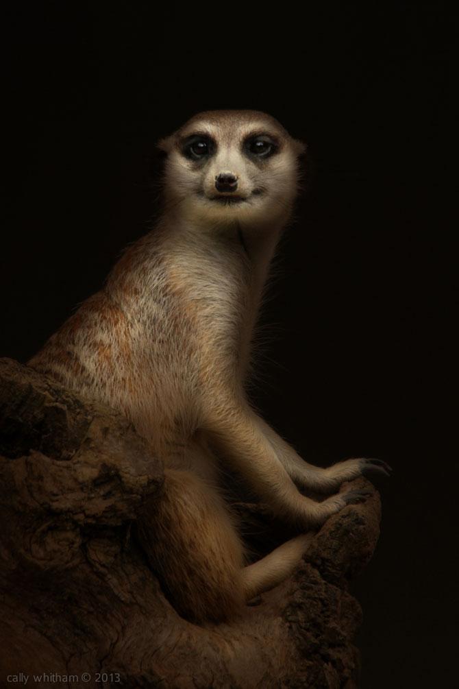 Portrete de animale umanizate, de Cally Whitham - Poza 7