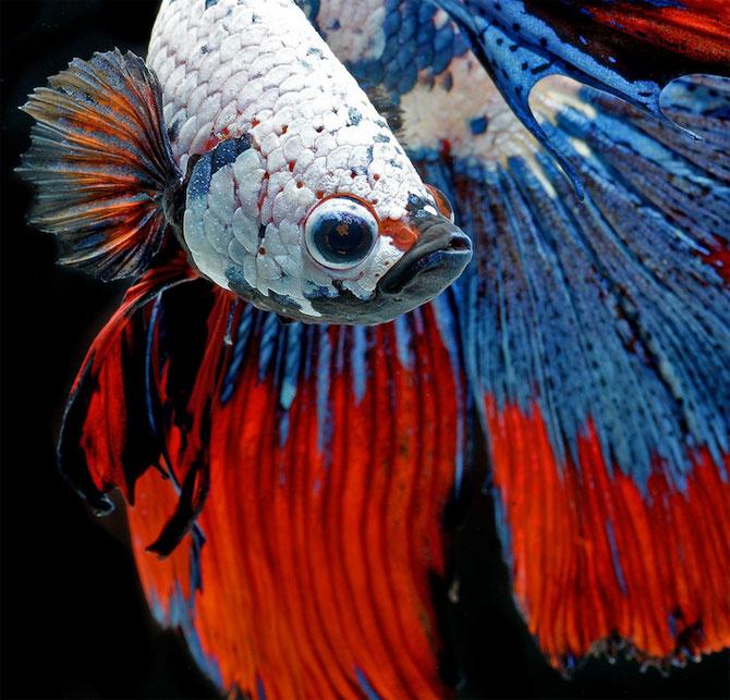 Gratia dansului pestilor in acvariu, de Visarute Angktanavich - Poza 1