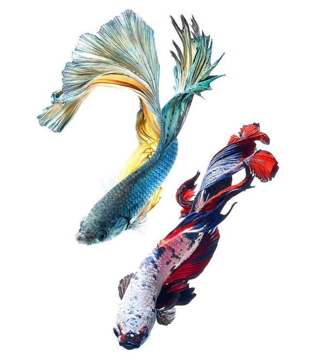 Gratia dansului pestilor in acvariu, de Visarute Angktanavich - Poza 2