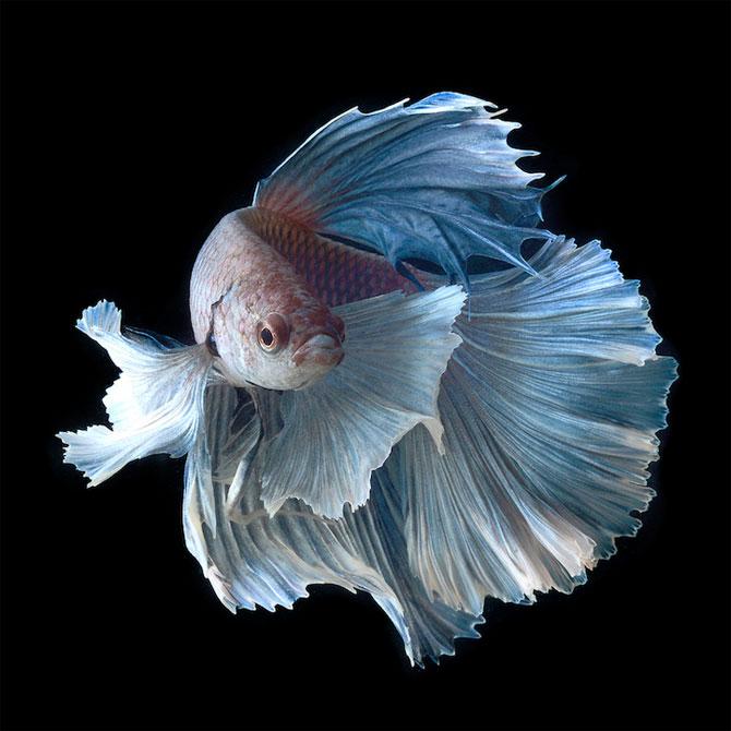 Gratia dansului pestilor in acvariu, de Visarute Angktanavich - Poza 3